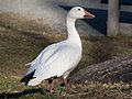 Snow goose in Central Park (33138).jpg