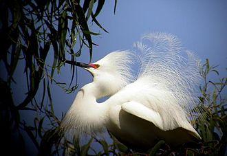 Snowy egret - Image: Snowy Egret full breeding plumage