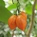 Solanum betaceum-IMG 0242.jpg