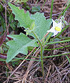 Solanum carolinense in flower.jpg
