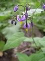 Solanum dulcamara-5-31-05.jpg