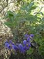Solanum seaforthianum.jpg