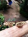 Sommerfugl, Bornholms Sommerfuglepark 9.jpg