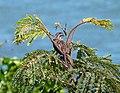 Song Sparrow (Melospiza melodia) - Flickr - S. Rae.jpg