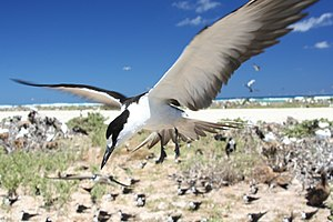 South Pacific (TV series) - A sooty tern flies over a seabird colony on French Frigate Shoals