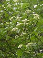 Sorbus haesitans 180513.jpg