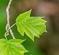 Sorbus torminalis in Aveyron (5).jpg