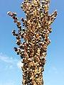 Sorghum bicolor (s. lat.) p. p. sl21.jpg