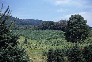 Christmas tree cultivation - This Christmas tree farm in southern Virginia is situated in a gently rolling valley.