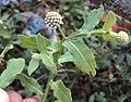 Sphaeranthus indicus 02.JPG