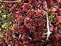Sphagnum rubellum.jpg