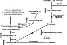 Figura 1: metabolismo degli sfingolipidi, dimostrazione dell'inibizione della ceramide sintasi (x) da parte delle fumonisine e il cambio di concentrazione degli altri composti causato da questa inibizione. (Voss et al., 2007)