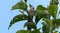 Spiny Babbler काँडे भ्याकुर (cropped).jpg