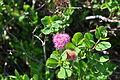 Spiraea splendens - Paradise, Mount Rainier, August 2014 - 02.jpg