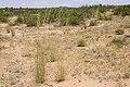 Sporobolus contractus - Flickr - aspidoscelis (16).jpg