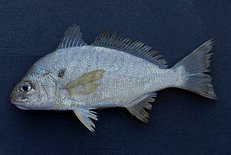 Spot (fish) - Image: Spot ( Leiostomus xanthurus )