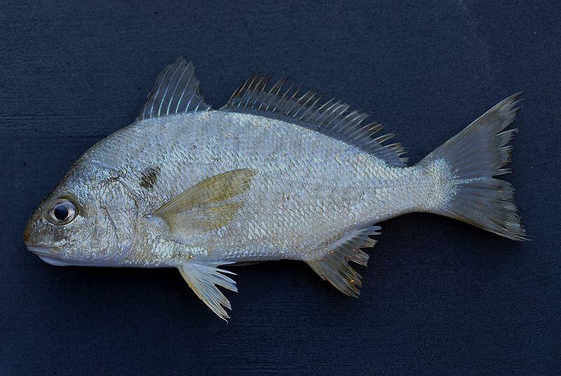 File:Spot ( Leiostomus xanthurus ).jpg
