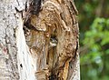 Spotted Owl (54904556).jpeg