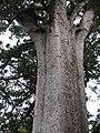 Square Kauri trunk 2.jpg