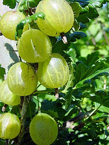 Gooseberry Products