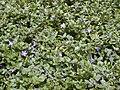 Starr-010419-0050-Vinca major-habit-Kula-Maui (24449887471).jpg
