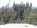 Starr-010704-0033-Casuarina equisetifolia-habit-Kanaha Beach-Maui (24532924315).jpg