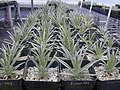 Starr-011205-0090-Argyroxiphium kauense-in nursery-Havo-Hawaii (24517716906).jpg