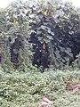 Starr-011205-1132-Macaranga mappa-with Thunbergia alata-Hilo-Hawaii (24517837836).jpg