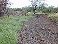 Starr-020422-0129-Amaranthus hybridus-habitat-Puu o Kali-Maui (24466209061).jpg