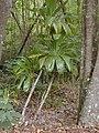 Starr-030405-0072-Cordyline fruticosa-habit-Makawao Forest Reserve-Maui (24261783289).jpg