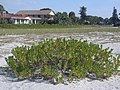 Starr-031108-0299-Scaevola plumieri, Venice Beach, Florida (24307098389).jpg