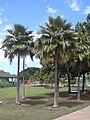 Starr-040318-0052-Pritchardia thurstonii-grove-Maui Nui Botanical Garden-Maui (24606105481).jpg