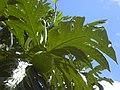 Starr-040318-0063-Artocarpus altilis-fruit-Maui Nui Botanical Garden-Maui (24071475724).jpg