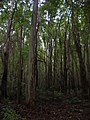 Starr-041107-0619-Eucalyptus sp-trail building-Makawao Forest Reserve-Maui (24626111421).jpg