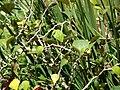 Starr-070403-6481-Ficus deltoidea-habit-Lanai City-Lanai (24591218150).jpg