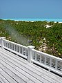Starr-080531-4740-Scaevola taccada-habit-Clipper House Sand Island-Midway Atoll (24282527604).jpg