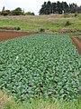 Starr-090430-6758-Brassica oleracea var capitata-crop-Kula-Maui (24835316042).jpg