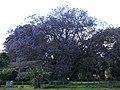 Starr-090513-7507-Jacaranda mimosifolia-flowering habit-Hanamu Rd Olinda-Maui (24928337216).jpg