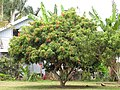 Starr-090617-0938-Litchi chinensis-fruiting habit-Haiku-Maui (41353189901).jpg