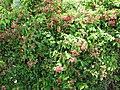 Starr-090709-2549-Quisqualis indica-flowering habit-Lahaina-Maui (24601683559).jpg