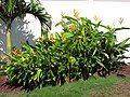 Starr-090803-3552-Heliconia psittacorum x spathocircinata-flowering habit-Waiehu-Maui (24877605611).jpg