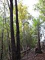 Starr-091029-8733-Fraxinus uhdei-fall foliage and trail-Olinda-Maui (24869264982).jpg