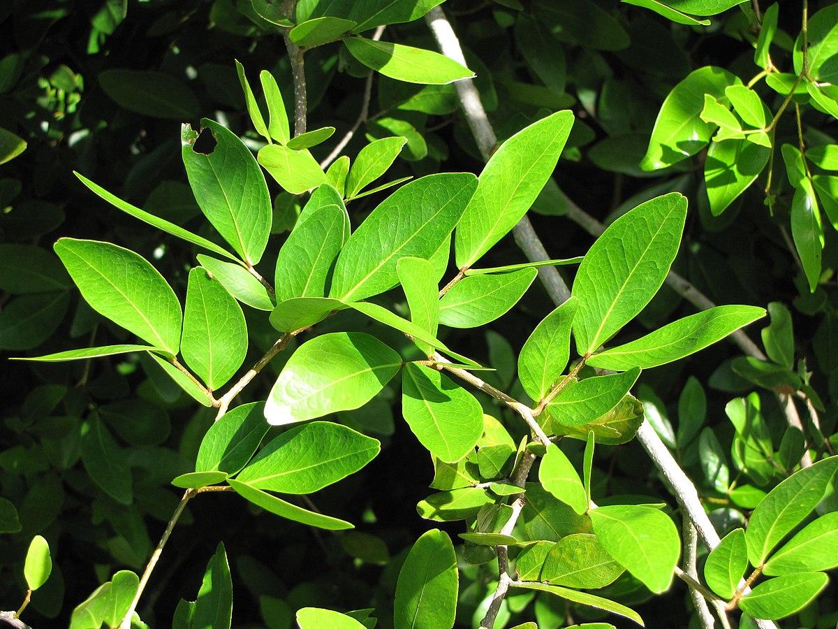 Cynometra Iripa Wikipedia