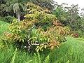 Starr-110330-3597-Persea americana-habit-Garden of Eden Keanae-Maui (24987185841).jpg