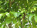 Starr-110330-4034-Canarium ovatum-fruit and leaves-Garden of Eden Keanae-Maui (24785531820).jpg