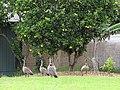 Starr-110513-5539-Citrus sinensis-habitat and nene on lawn-Hawea Pl Olinda-Maui (24727331569).jpg