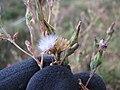 Starr-110601-5995-Lactuca sativa-flowers and seedheads-Kula-Maui (24728838489).jpg