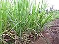 Starr-120620-7455-Cenchrus purpureus-green bana grass biofuel trials-Kula Agriculture Station-Maui (25119371416).jpg
