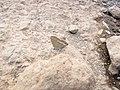 Starr-121031-0570-Ulex europaeus-habitat with bean butterfly Lampides boeticus mudding-Waikamoi Flume Rd-Maui (24899696430).jpg