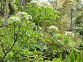 Starr-130312-2433-Murraya koenigii-flowers-Pali o Waipio Huelo-Maui (24911697290).jpg